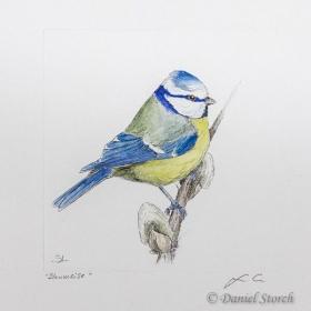 kupferstich-blaumeise-singvogel-coloriert