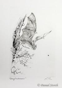 kupferstich-zwergfledermaus-fledermaus